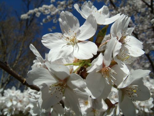 Cherries in bloom.  Just some of the beauty of Spring.